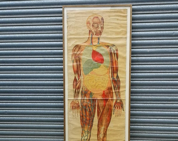 Early 1900s Lifesize Framed Anatomical Chart By Ruddiman Johnston & Co Ltd London