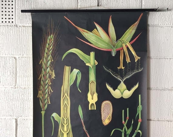 Botanical Educational Wall Chart Of A Rye Blossom Grain By Jung Koch Quentell