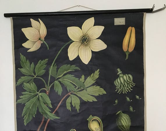 Botanical Educational Wall Chart Of A Anemone Nemorosa By Jung Koch Quentell