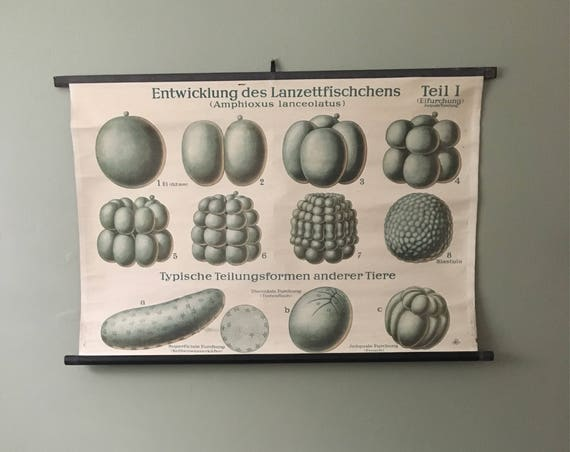 Vintage 1950's East German Educational Chart, Roll Down Poster Of Sea Life Eggs