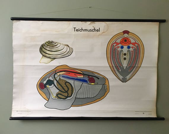 Vintage East German Educational Chart, Roll Down Poster Of The Internal Organs Of A Muscle By Volk Und Wissen, Berlin