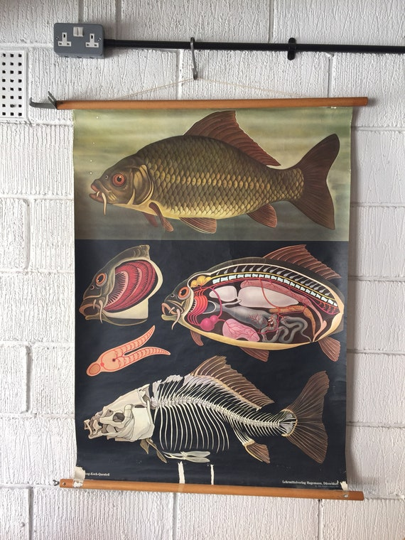 Zoological Educational Wall Chart Of A Carp Fish By Jung Koch Quentell