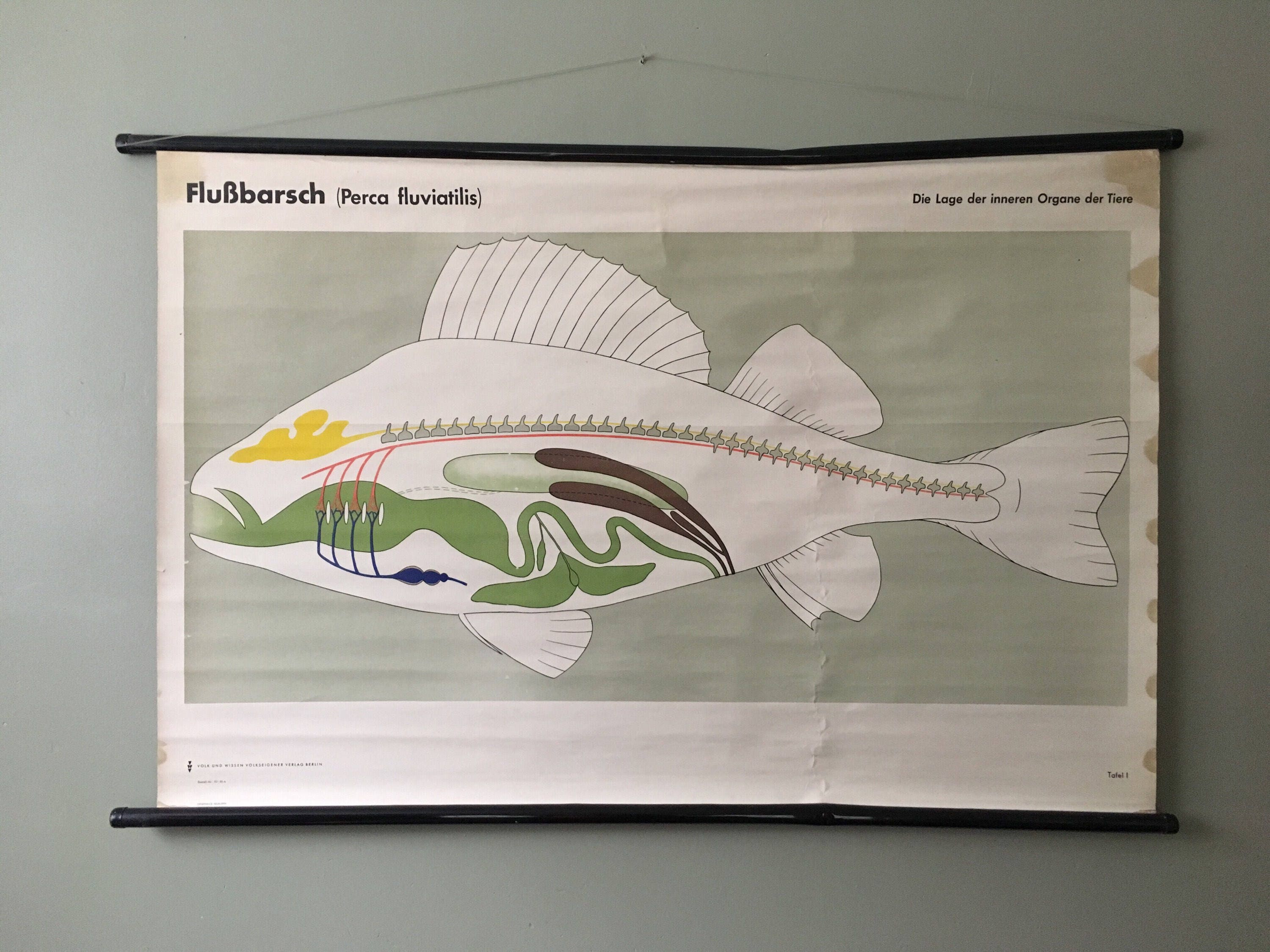 Vintage east german educational chart roll down poster of the vintage east german educational chart roll down poster of the internal organs of a river perch fish by volk und wissen berlin ccuart Images