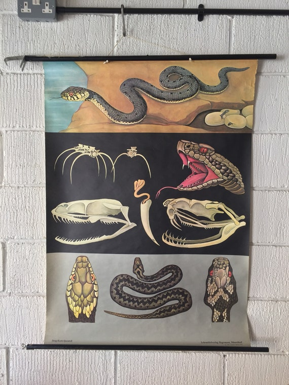 Zoological Educational Wall Chart Of A Viper & Rattle Snake By Jung Koch Quentell