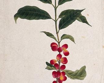Coffea Arabica, botanical illustration, watercolor, digital reprint, canvas paper