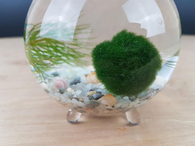 Zen Globe Aquatic Marimo Moss Ball Terrarium Kit Office Desk Etsy