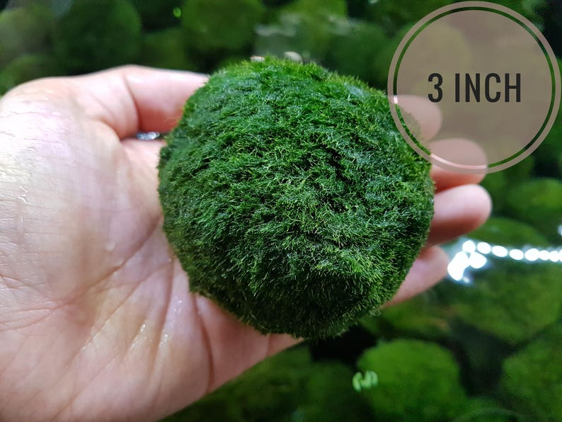 Rare Jumbo Marimo Moss Ball 3in For Terrarium Planted Tanks Etsy