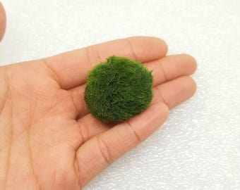 SALE! Large Marimo Moss Ball for Terrarium Planted Tanks Live Aquarium Fish Shrimps Indoor Plant Gift