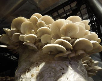 Grow White Oyster Mushrooms with FREE SHIPPING