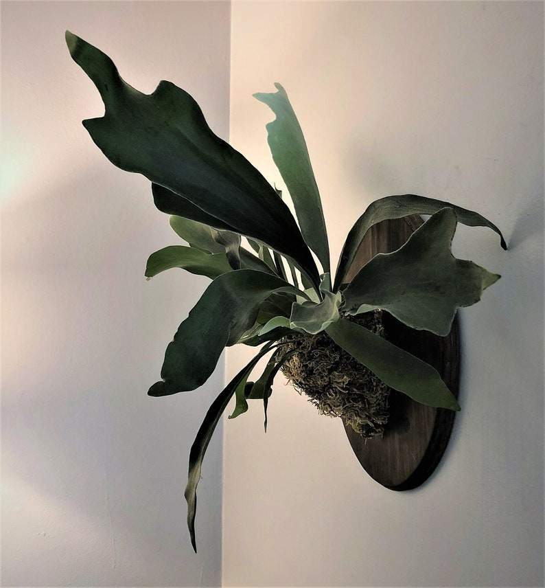 Large Wall Mounted Staghorn Fern attached to oval wooden plaque Mothers Day live plant flower