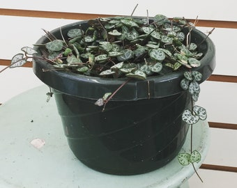 """Ceropegia woodii String of Heart Plant 6"""" (1)"""