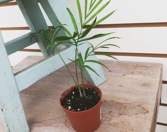 a1d10d92a76 Palm Neanthe Bella Plant 2