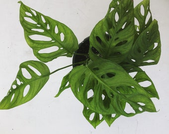 """Philodendron Swiss Cheese Hanging Plant 6"""""""