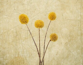 Craspedia -Billy Buttons - Woollyheads -Yellow Globe - Fine Art Flower - Nature - Botanical Print - Yellow Gold - Home Decor