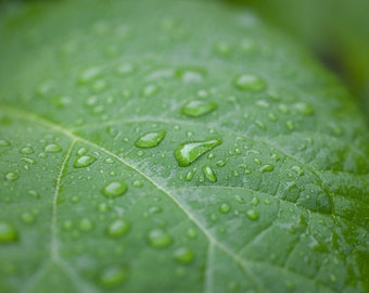 Summer Rain - Hydrangea Leaf with Raindrops - Flower Leaf  - Fine Art Print - Leaf Photography - Nature hues Print - Botanical