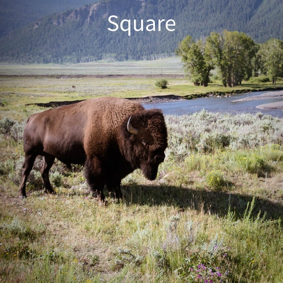 Photo Print Of A Bison In Yellowstone National Park Wildlife Photography Available On Canvas