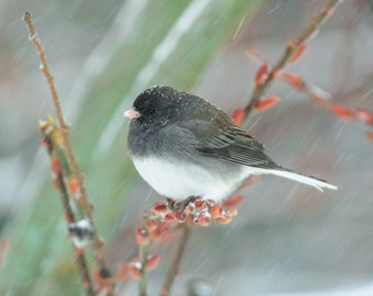 Junco in Snowfall