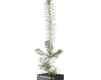 TreesAgain Potted Fraser Fir Tree - Abies fraseri - 5 to 14+ inches (See State Restrictions)