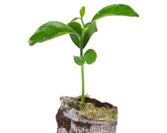 TreesAgain Yuzu Tree - Citrus reticulata var. austera - starter plug