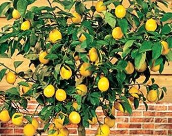 TreesAgain Potted Meyer Lemon Tree - Citrus meyeri - 4 to 8+ inches