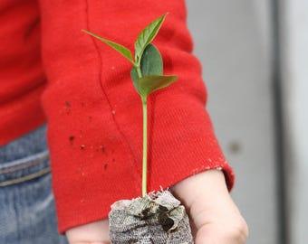 TreesAgain Osage Orange Tree - Maclura pomifera - starter plugs