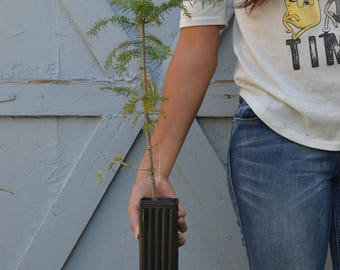 TreesAgain Potted Canaan Fir Tree - Abies balsamea var. phanerolepis - 14 to 20+ inches