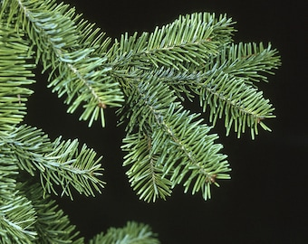 TreesAgain Potted Balsam Fir Tree - Abies balsamea - 16 to 22+ inches