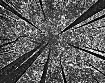 Upwards: Fine Art Photography, trees, canopy, landscape, black & white