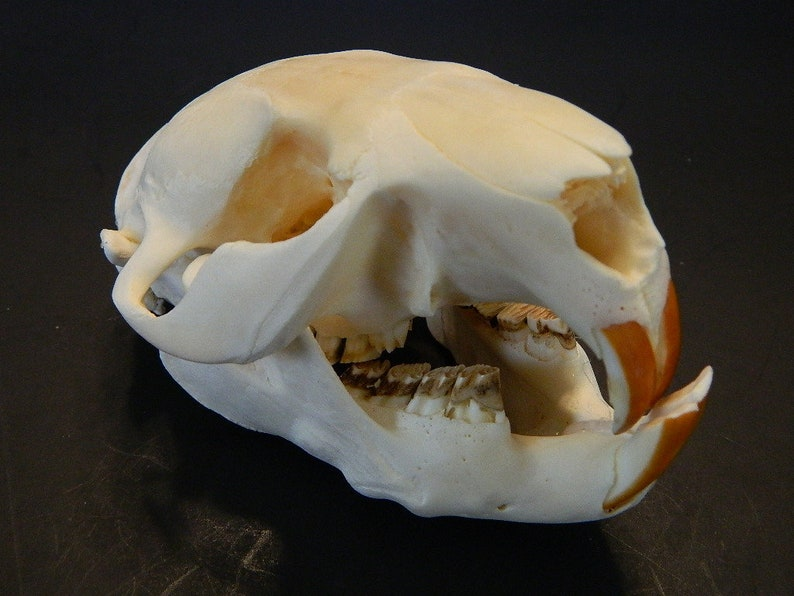 Display Crafts Educational Decor Skull JY89 North American Beaver Skull Female Professionally Cleaned Natural Authentic Beaver Skull