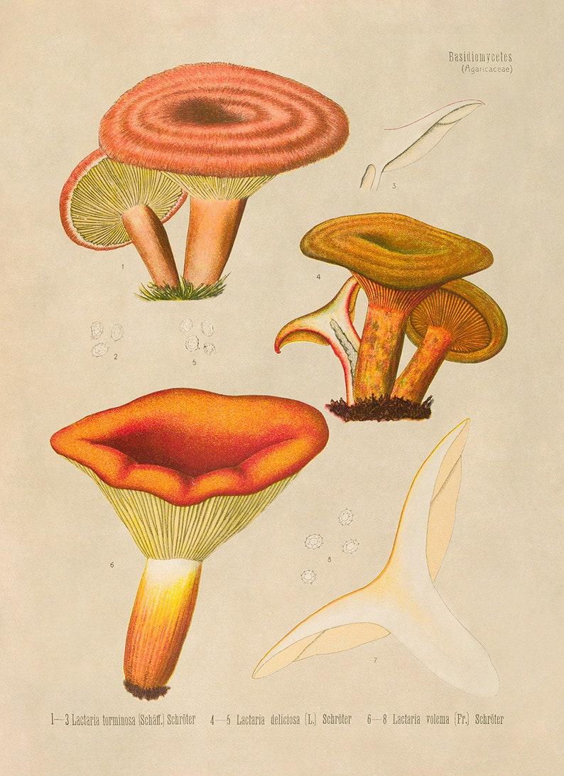 Medicinal Plants MOBO289 Old Milk Cap Mushroom Plant Illustration Poster Botany Print