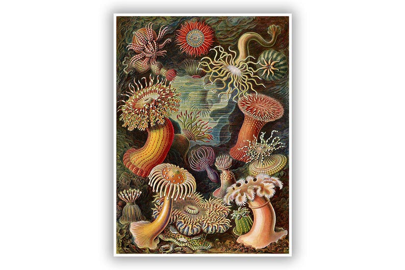 Ernst Haeckel Biology Print Sea Anemones Scientific Anatomy Etsy