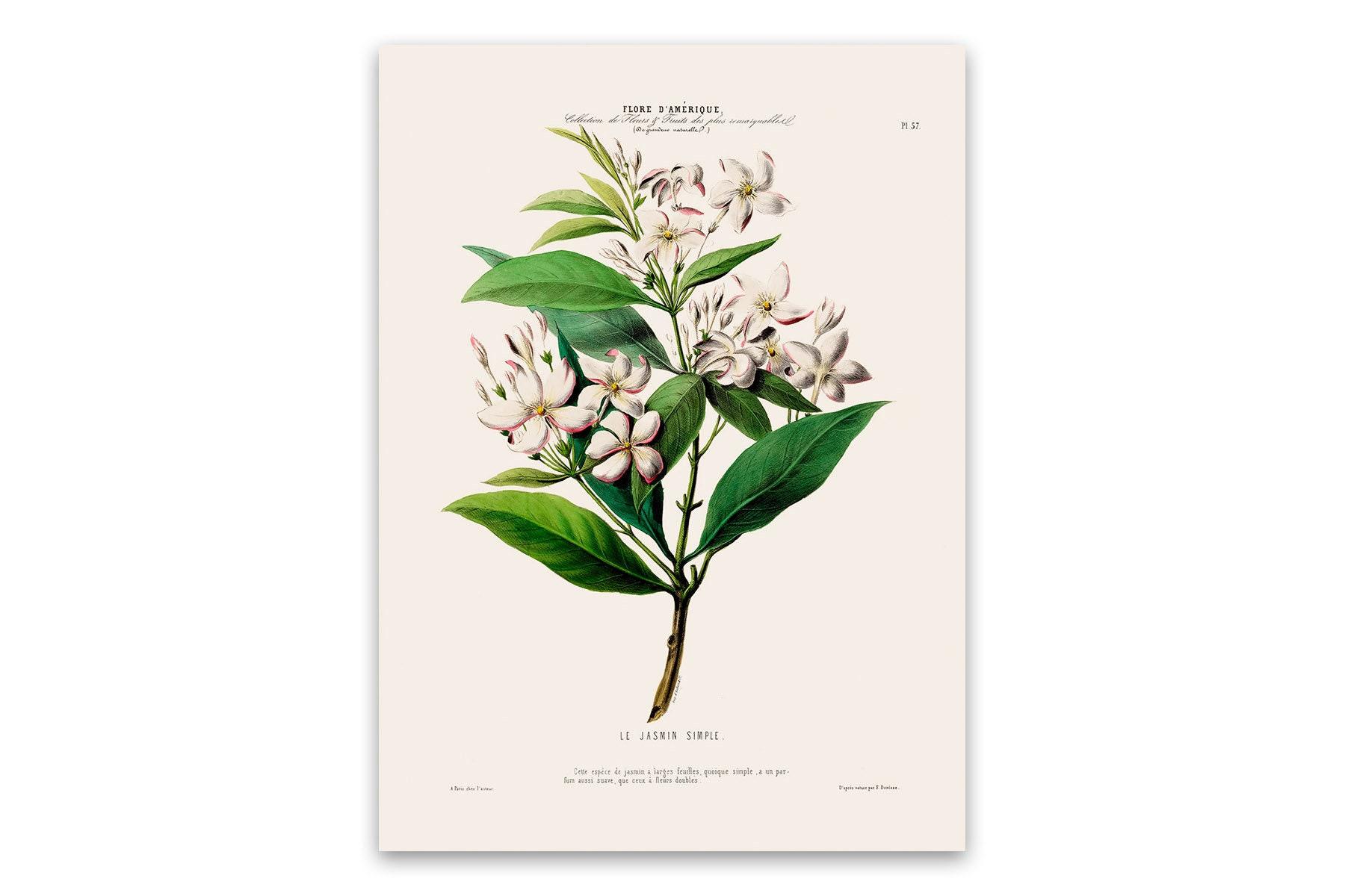 Affiche Ancienne Pour Salle De Bain jasmin affiche, illustration botanique ancienne, botanique art print,  cuisine salle de bain home decor, flore amerique, fda57