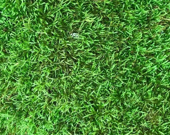 Moss, Live Sheet Moss 36 sq. inches, 6 x 6