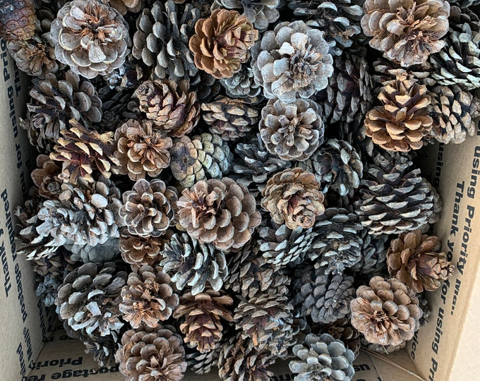 Pine Cones, Seconds, Imperfect, Red Pine Cones, 100 Count