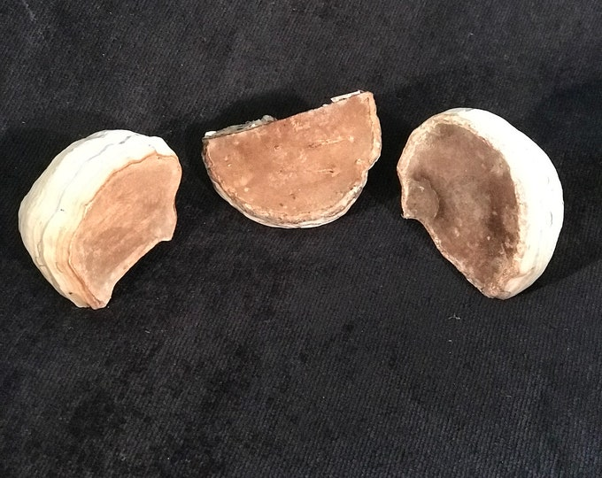 Conk, 3 small polypores, approximately 2 1/4 inches x 1 1/2 inches high