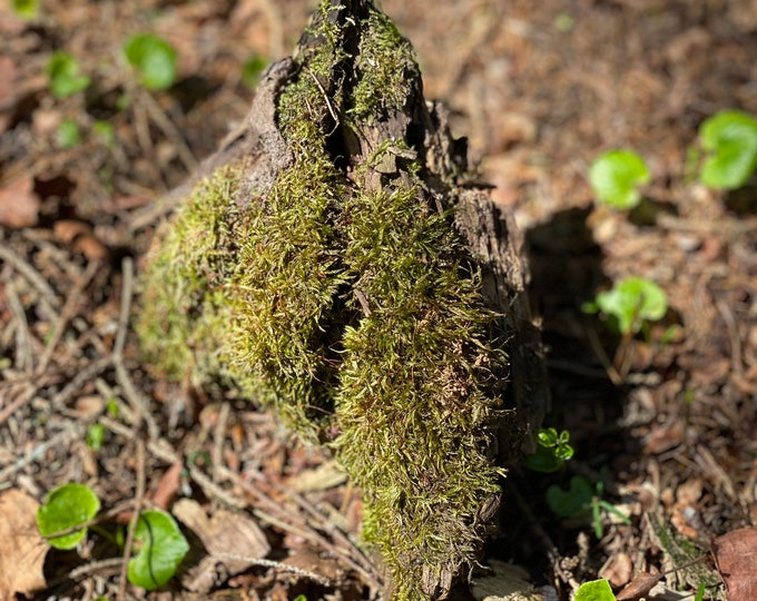 Live Moss on a Log, Mossy Log Approximately 5 Inches Long with a Width of 6 Inches and About 2 Inches High
