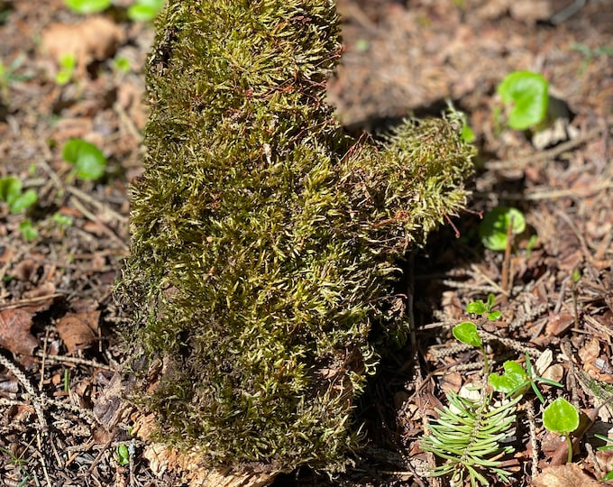 Live Moss on a Log, Mossy Log Approximately 8 Inches Long with a Width of 5 Inches and About 2 Inches High