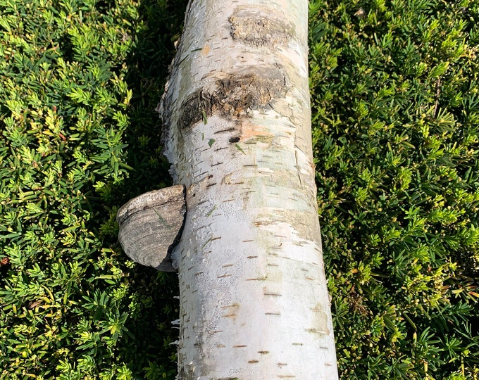 White Birch Tube with a Polypore Gonk, approximately 16 inches long and about 4 inches diameter