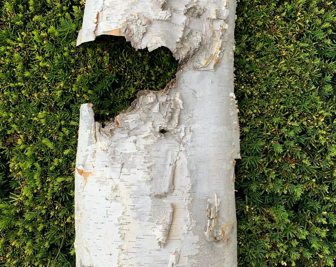 White Birch Bark, Very Large, 27 x 15 inches