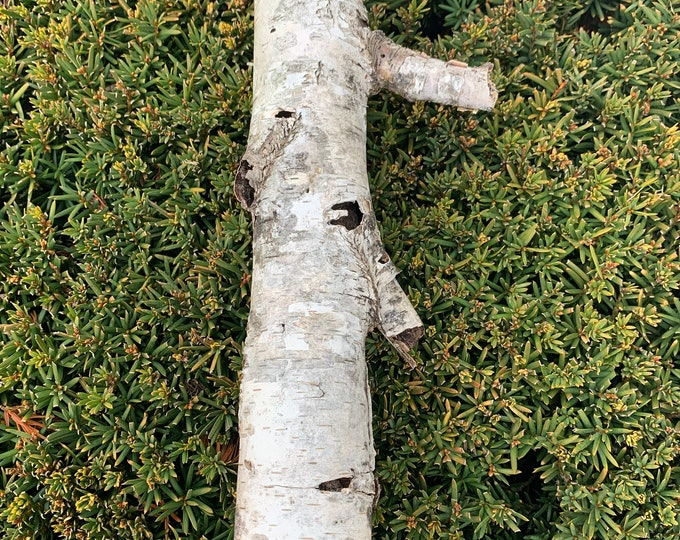 White Birch Tube, approximately 11 inches long and about 2 inches diameter