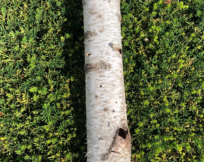 White Birch Tube, approximately 20 inches long and about 3 inches diameter