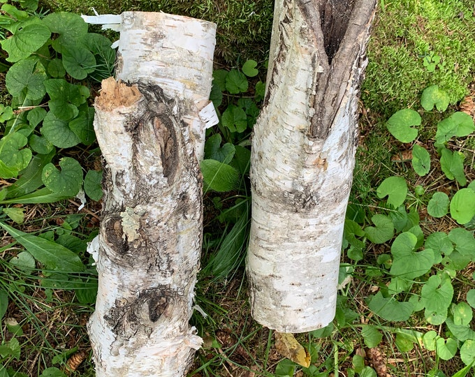 Two Unique White Birch Logs, About 12 inches long x 3 inches Diameter