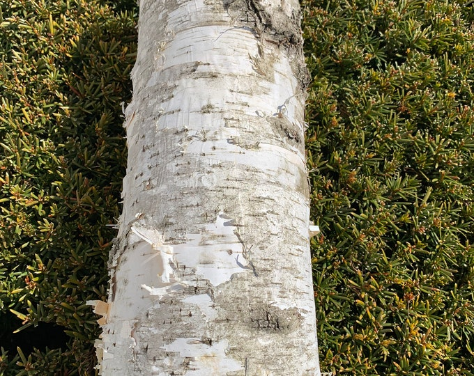 White Birch Bark, Approximately 14 inches x 12 inches