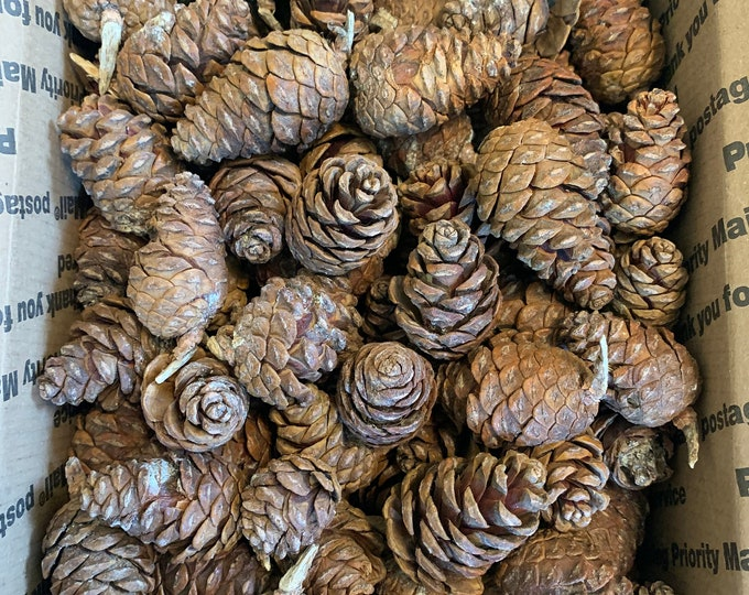 Unopened Pine Cones, Seconds, Imperfect, Red Pine, Approximately 200