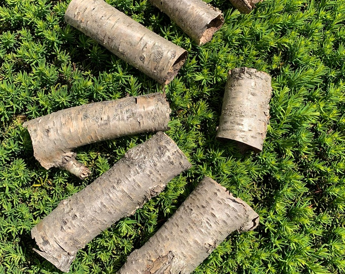 Yellow Birch Tubes, 7 golden brown tubes, various lengths, but approximately two inches diameter