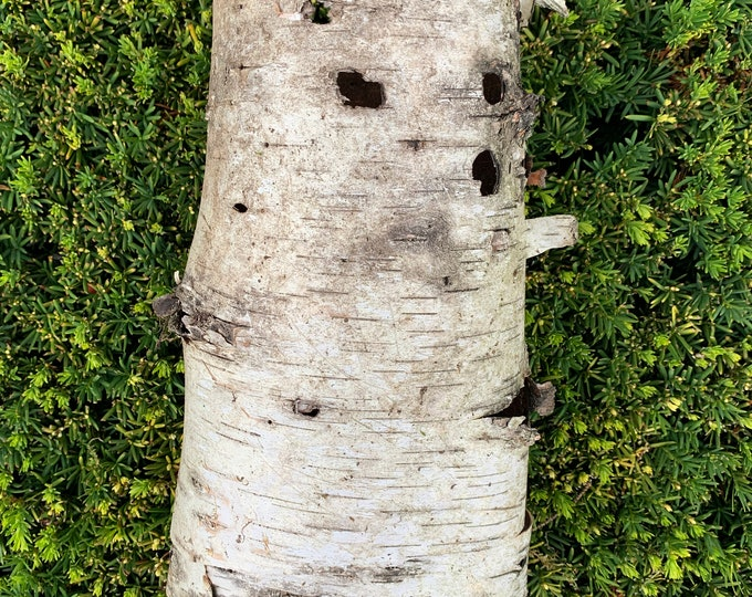 White Birch Tube, approximately 6 inches diameter and 11 inches long