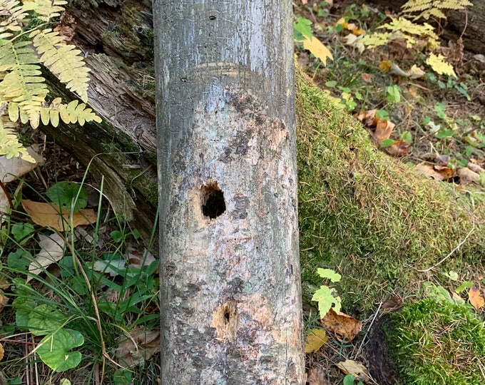 Rustic Log with Hole Made by Critters