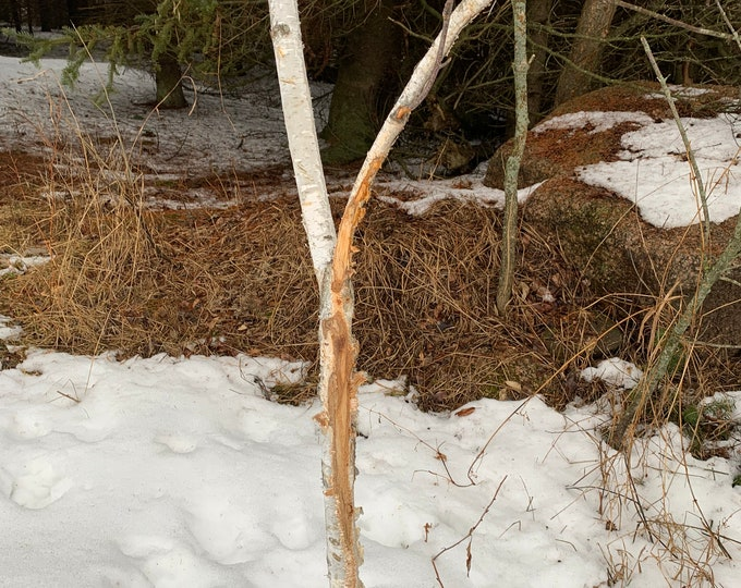 Buck rub on a white birch branch, approximately 52 inches tall and about 1 3/4 inch diameter
