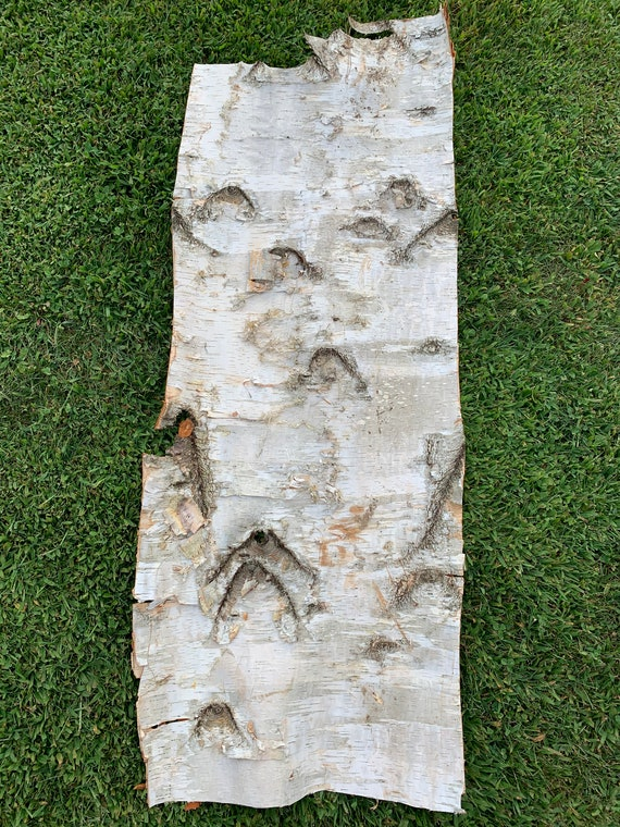 White Birch Bark, firm, rectangular piece approximately 50 inches x 20 inches