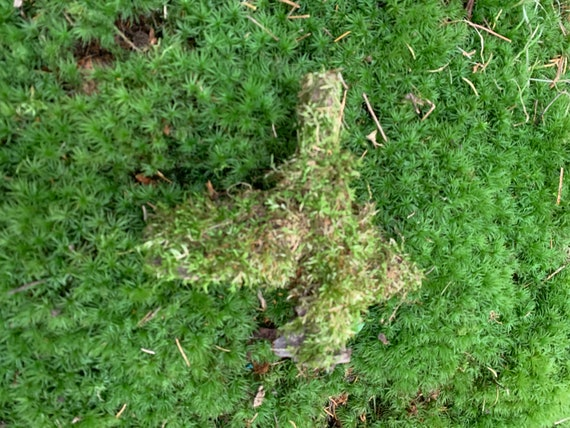 Mossy Log, Live Moss, Naturally grown on a log, about 6 inches in size